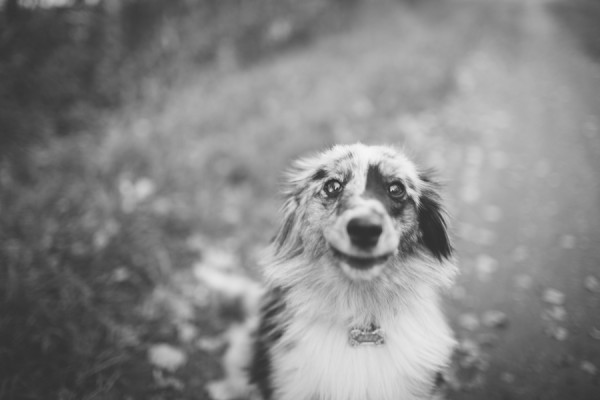 © Davin G Photography, adorable-Miniature-Australian-Shepherd-Sheltie-mix