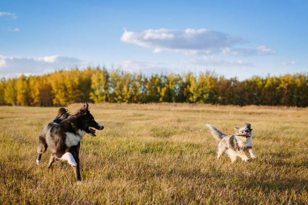 © Davin G Photography, Australian-Shepherd-mixes-playing