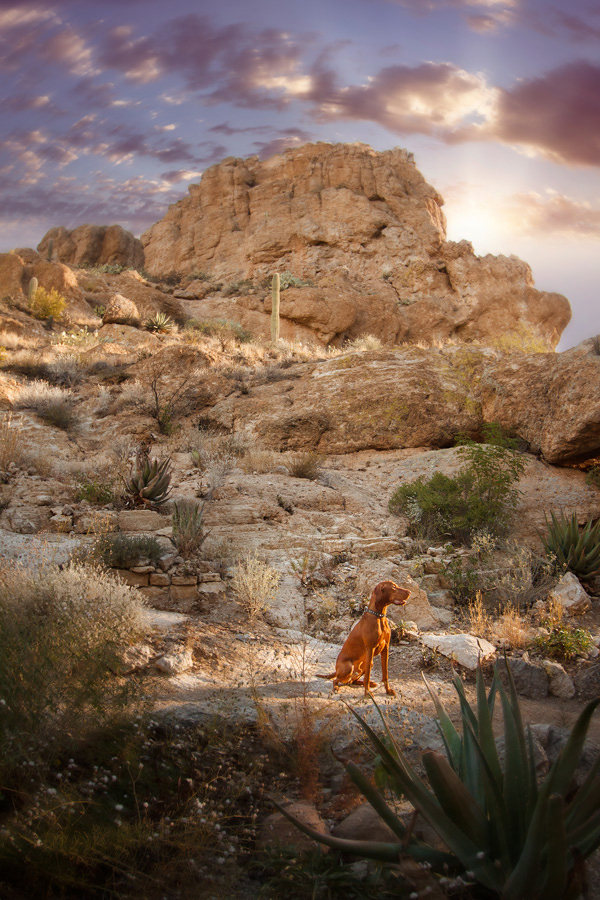 © Kira DeDecker Photography, Handsome-Vizsla-in-desert