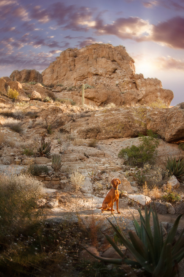 © Kira DeDecker Photography, handsome-Vizsla, Arizona-Arboretum