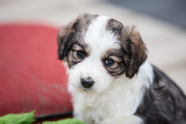 © Lori Hoffarth Photography,   Daily Dog Tag   Adoptable Puppy from Windy City Canine Rescue, Alberta