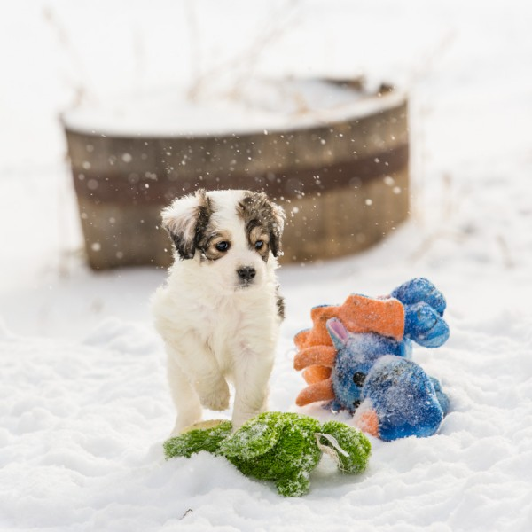 © Lori Hoffarth Photography, | Daily Dog Tag | Adoptable Puppy from Windy City Canine Rescue, Alberta