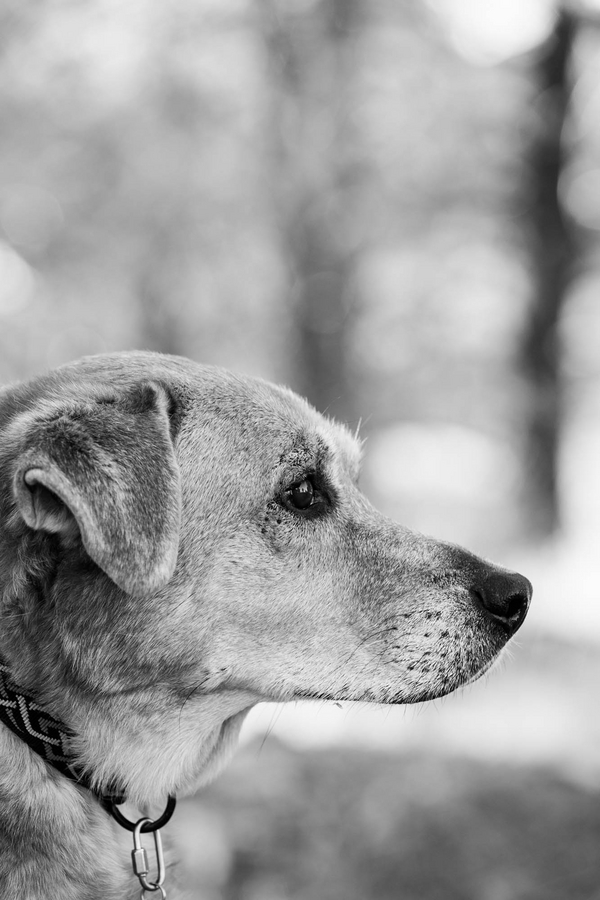 © Tangled Lilac Photography, | Daily Dog Tag | Labrador-Mix