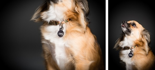 © Westway Studio, long-haired-Chihuahua mix