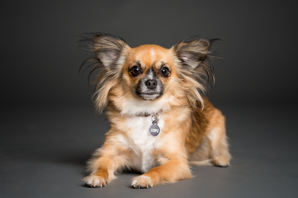 © Westway Studio, long haired Chihuahua mix