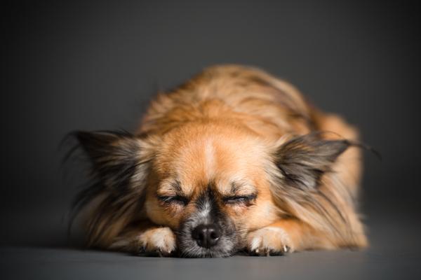© Westway Studio, sleeping-Chihuahua-mix