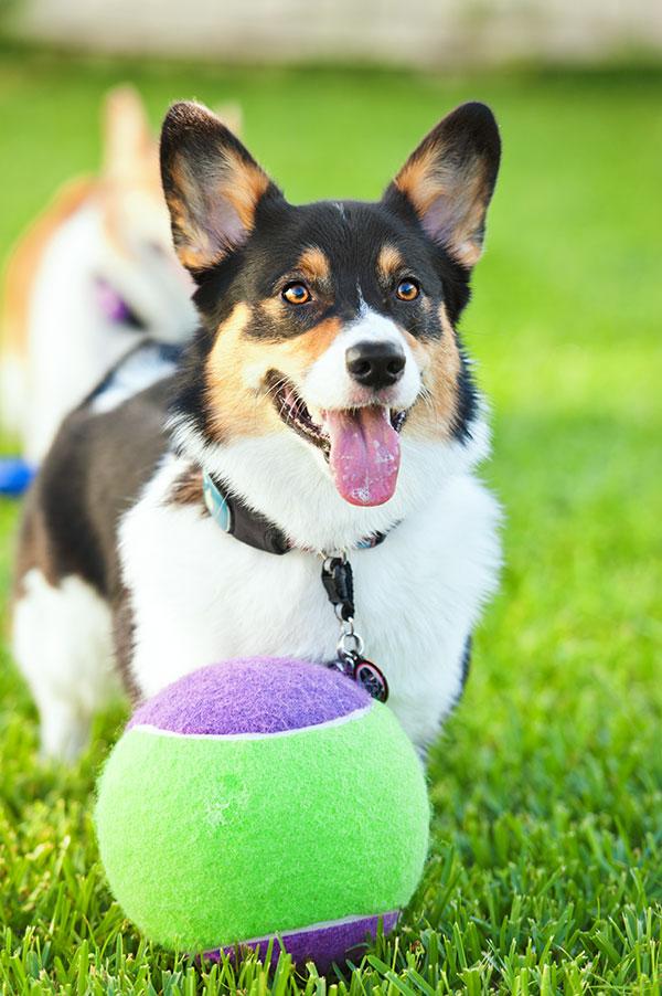 © Hot Dog Pet Photography, Pembroke Corgis