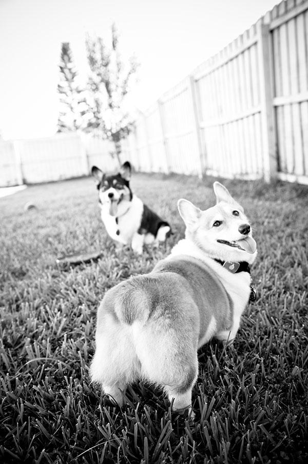 © Hot Dog Pet Photography, Orlando-Pet-Photographers, cute Corgi butt