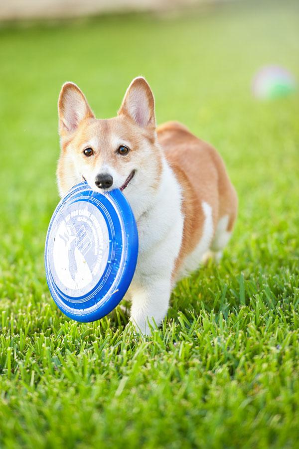 © Hot Dog Pet Photography, Corgi-with-Frisbee