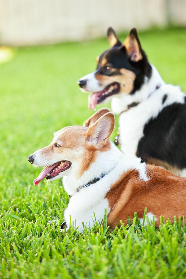 © Hot Dog Pet Photography, Corgis