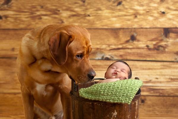 © Cathy Murai Photography | Daily Dog Tag | Fox-Red-Labrador-Retriever-and-newborn