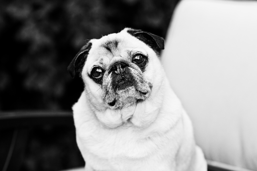 © April O' Hare Photography, | Daily Dog Tag | Pug