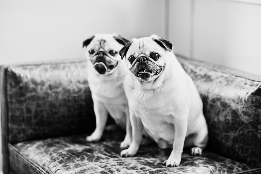 © April O' Hare Photography, | Daily Dog Tag |  #Pugs
