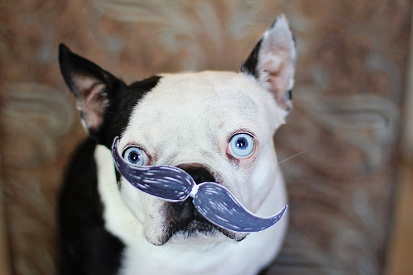 , | Daily Dog Tag | Boston-Terrier-Mustache