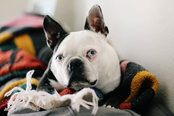 © Genevieve Elaine Photography | Daily Dog Tag |, Handsome-Boston-Terrier