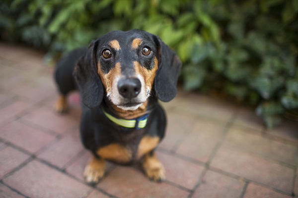 © McGraw Photography,  | Daily Dog Tag |, Doxie