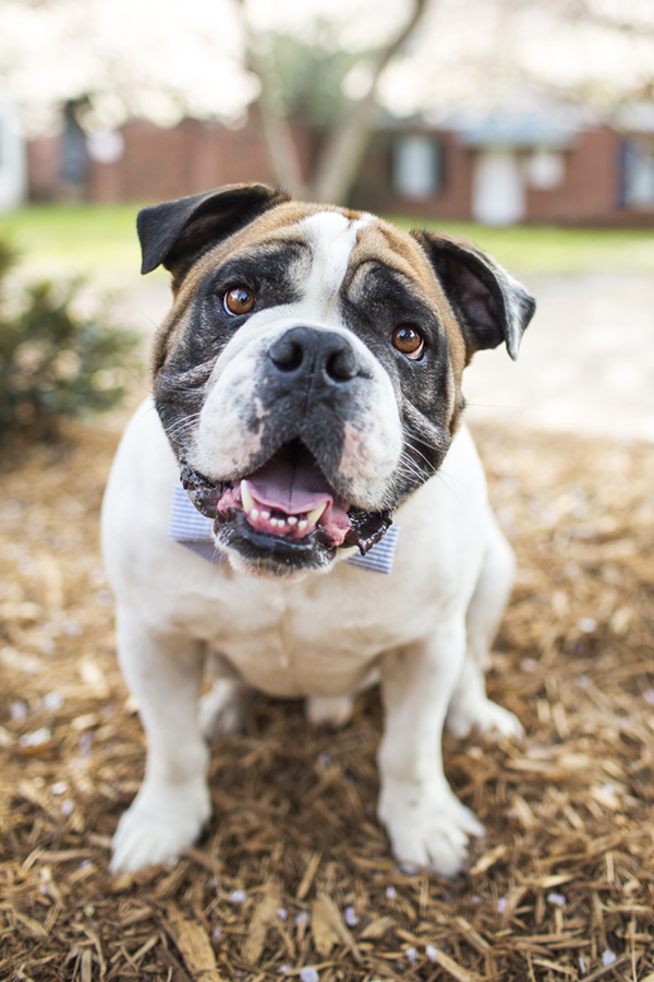 © McGraw Photography,  | Daily Dog Tag |, Bulldog in bowtie
