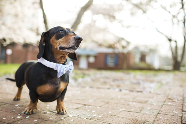 © McGraw Photography,  | Daily Dog Tag |, Handsome-Doxie-in-bow-tie