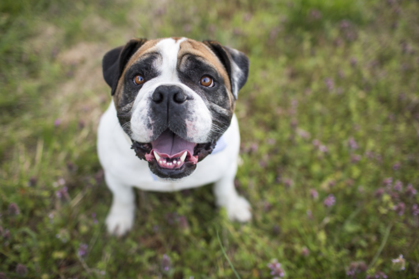 © McGraw Photography,  | Daily Dog Tag |, English Bulldog