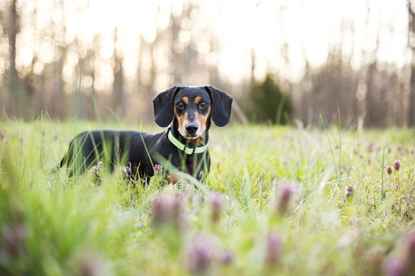 © McGraw Photography,  | Daily Dog Tag |, Dachshund in field
