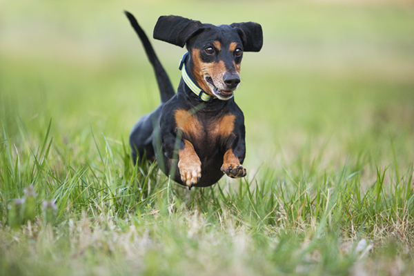 © McGraw Photography, Doxie-running