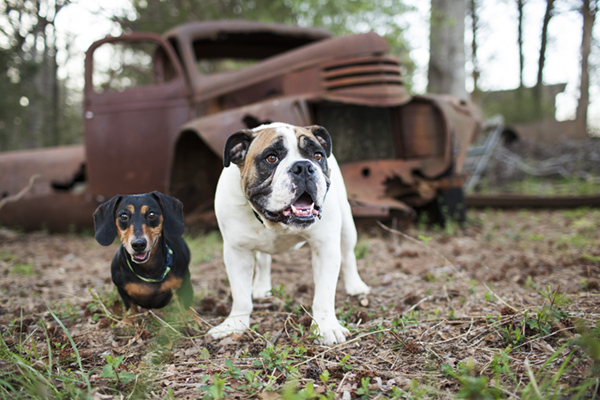 © McGraw Photography, | Daily Dog Tag |, Doxie-and-Bulldog