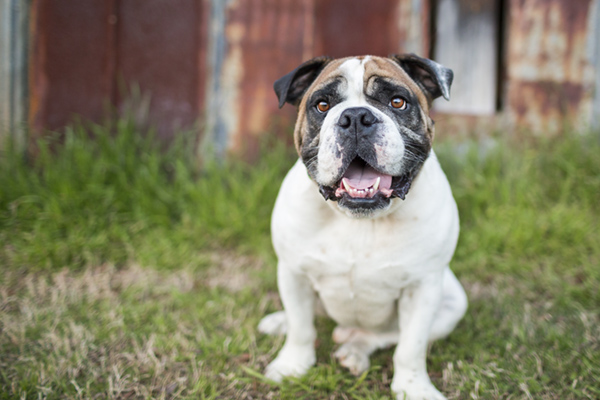 © McGraw Photography,  | Daily Dog Tag |, English-Bulldog
