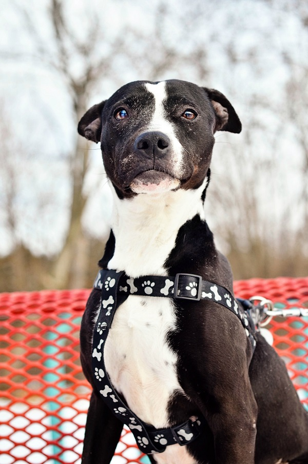 © Jessica Cobb Photography | Daily Dog Tag | Adoptable-Sweetie-SPCA-of-Luzerne-County-PA