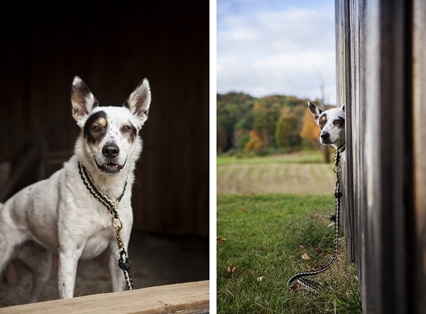 © Kathryn Schauer Photography, | Daily Dog Tag |, Cattle-dog-lookalike