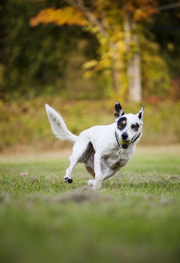 © Kathryn Schauer Photography, | Daily Dog Tag | Dog-catching-tennis-ball