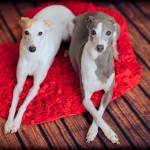 Italian-greyhounds-Valentines
