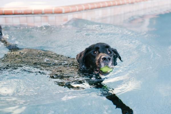 © Britt Croft Photography | Daily Dog Tag | Senior-Black-Lab-swimming