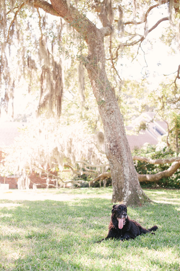 © Britt Croft Photography | Daily Dog Tag | Senior-Black-Lab-under-tree-with-Spanish-Moss