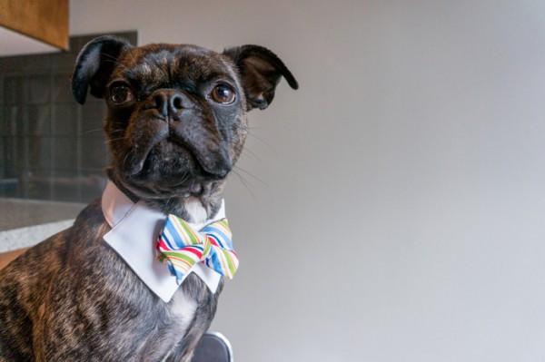 © Cassidy Morgan  | Buggsly Black Label | Pug-Boston-Terrier wearing a Dapper Dog bow tie