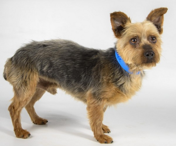 Dasher-Adoptable-Silky-Terrier, National-Mill-Dog-Rescue
