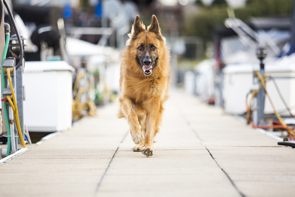 © McGraw Photography | Daily Dog Tag | GSD on dock