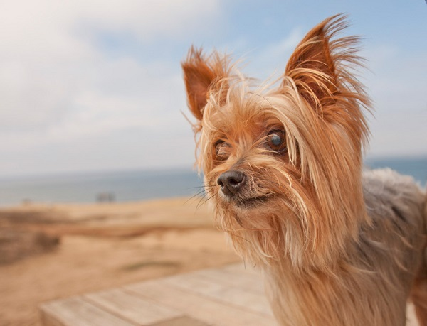 © Fetchlight | Daily Dog Tag | Yorkshire Terrier San Diego Pet Photographer