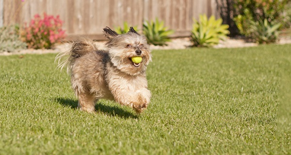 © Fetchlight | Daily Dog Tag |  Schnauzer mix playing with ball