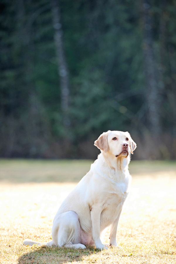 © Kim Reimer Photography  | Daily Dog Tag |  Yellow Labrador Retriever