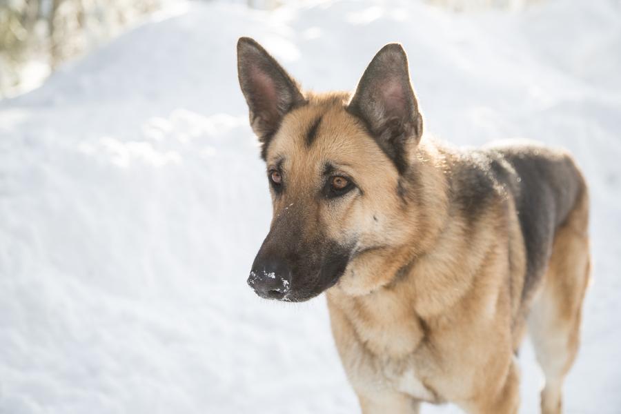 © Melanie Bennett Photography | Daily Dog Tag | German Shepherd
