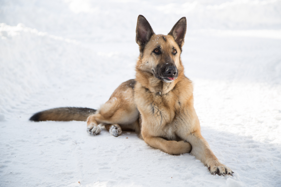 © Melanie Bennett Photography | Daily Dog Tag | GSD lying on snow