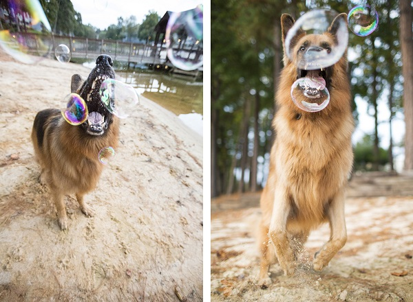© McGraw Photography | Daily Dog Tag | German Shepherd popping bubbles