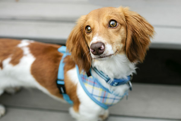 © Shutter Hound Pet Photography | Daily Dog Tag | Mad for Plaid Harness on Doxie