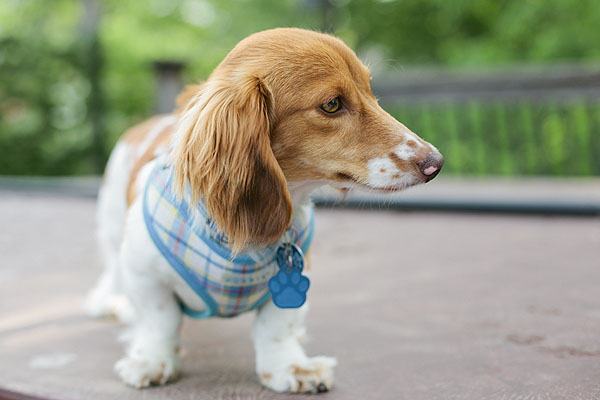 © Shutter Hound  Pet Photography | Daily Dog Tag | Doxie with plaid harness