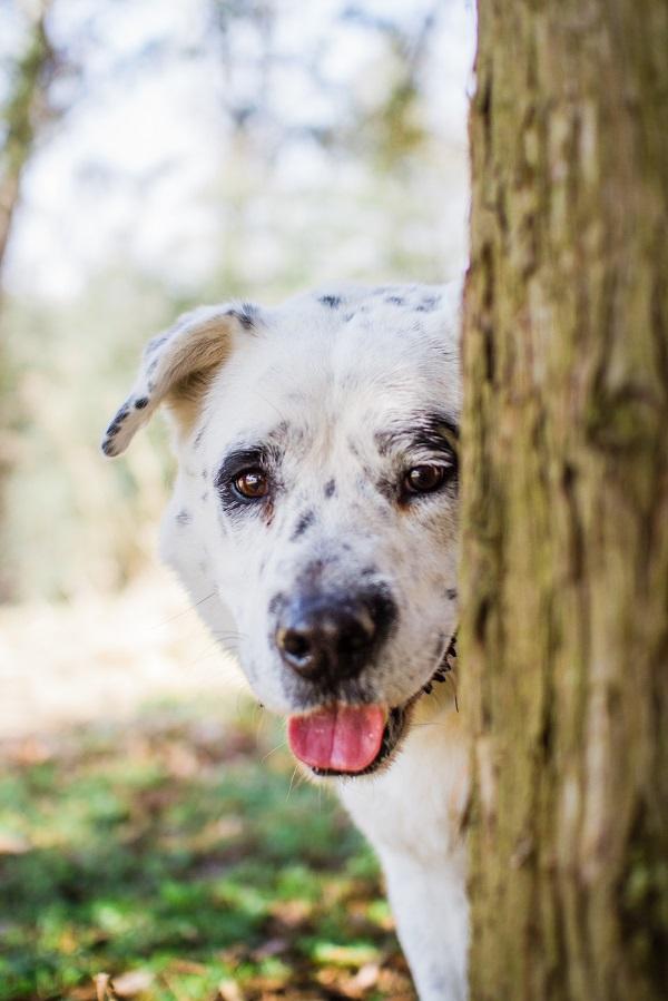 Photo by www.marymaier.com | Daily  Dog Tag | handsome-adoptable-Lab-mix-BARK-VA