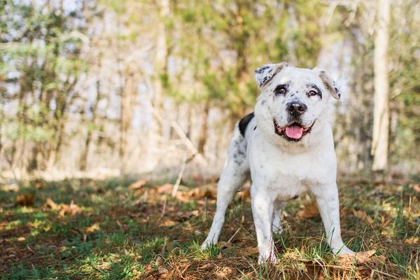 Photo by www.marymaier.com | Daily  Dog Tag | adoptable-Dalmatian-Labrador-BARK-VA