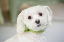 Syracuse Dog Photographer, Maltese Daily-Dog-Tag