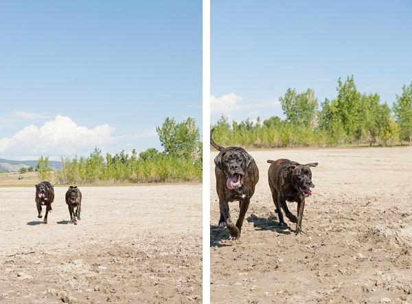 © Ashleigh MiIller Photography | Daily Dog Tag | Mastiffs running