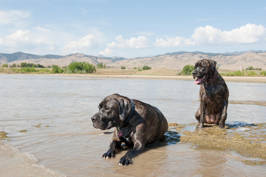 © Ashleigh MiIller Photography | Daily Dog Tag | Mastiffs in river