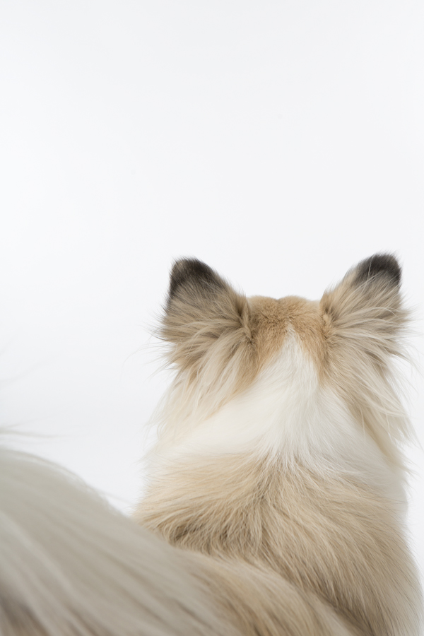 © Fur Kids by Purple Tree Photography | Daily Dog Tag| Icelandic Sheepdog